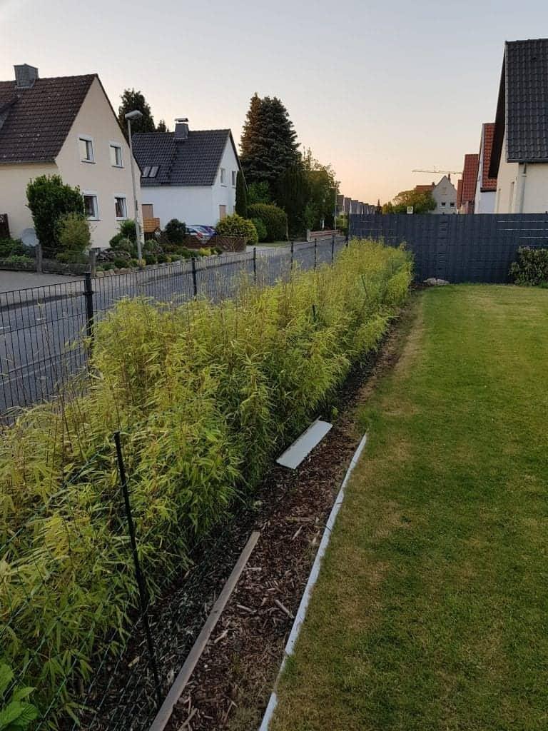 bambus hecke pflanzen meine erfahrungen reens blog. Black Bedroom Furniture Sets. Home Design Ideas